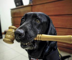 Perro de asistencia judicial con un martillo de juez en el hocico - Fuente: Fundación Ciudad del Niño